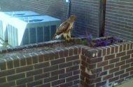 MFCOA Hawk